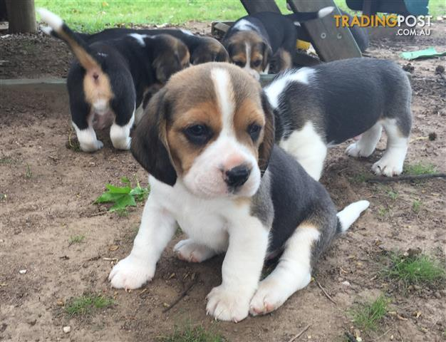 Beagle Breeders Qld