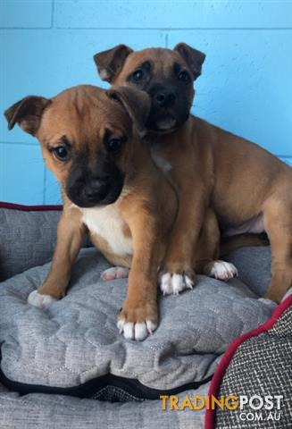 English Staffy X Jack Russell Puppies For Sale