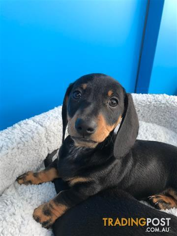 MINIATURE-DACHSHUND-PUPPIES-FOR-SALE