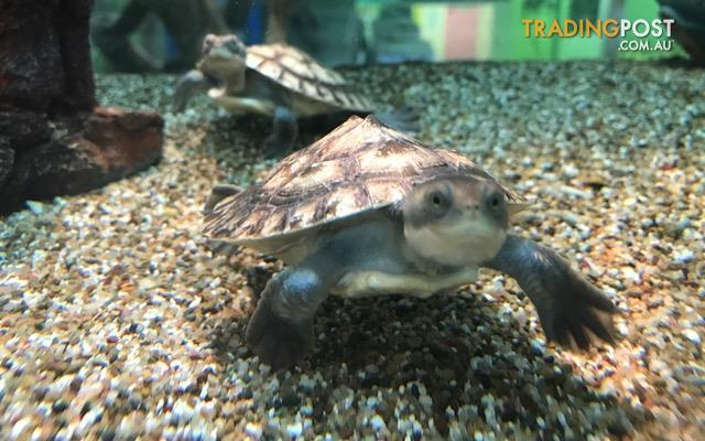 Baby Macleay River Turtles For Sale
