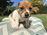 Pure Breed Jack Russell Puppies