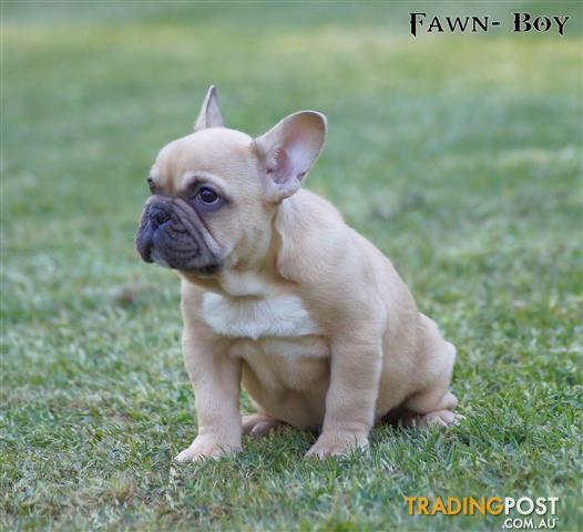 FRENCH BULLDOG puppies   pedigree purebreed for sale in Newcastle NSW |  FRENCH BULLDOG puppies   pedigree purebreed