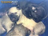 Purebreed Pug Puppys