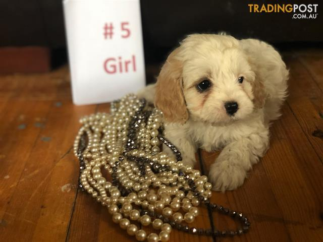 Beautiful Healthy Cavoodle Puppies 1 Females