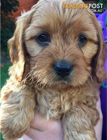 Cavoodle available now Brighton - Male