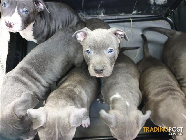 Blue American Staffy Pups Pure Breed