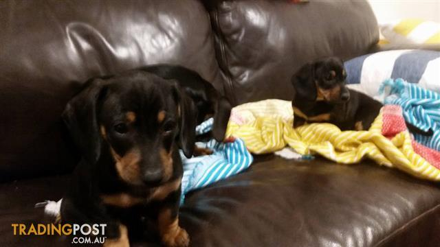 Male daschund puppies for sale!