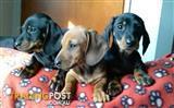 Mini Dachshund pups