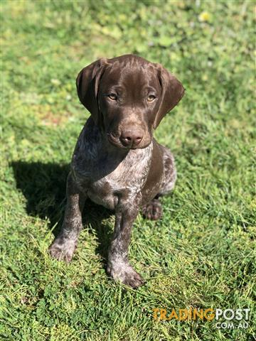 Gsp German Shorthaired Pointer Pure Bred Pups