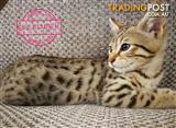 Pedigree bengal kittens ready for new homes