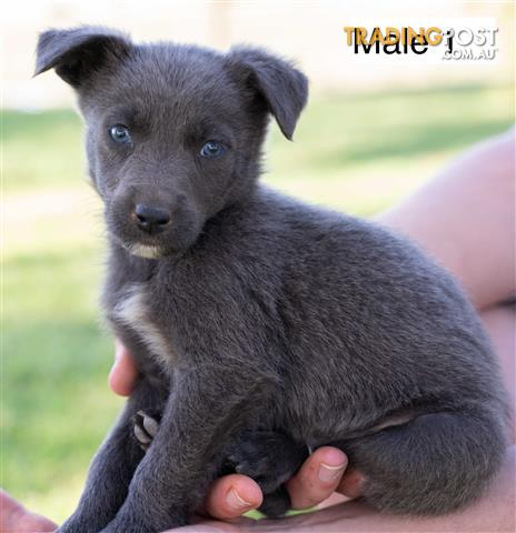 Border Collie X Kelpie Puppies