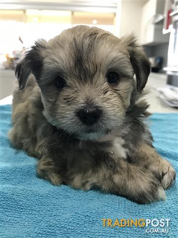 Maltese X Shih Tzu Puppies Ready For Christmas For Sale In