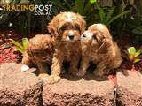 Cavoodle puppies for sale!