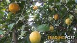 Home grown lemons, chemical free