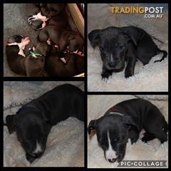 Find American Staffordshire Terrier puppies for sale in