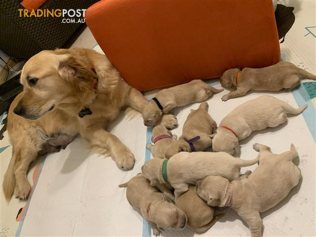 Find Golden Retriever puppies for sale in Australia