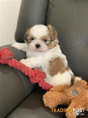Find Maltese puppies for sale in VIC, Australia