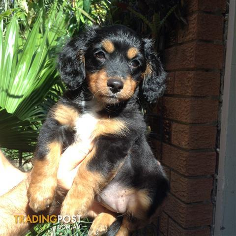 Cavoodles toy poodle x cavalier  1 girl forsale,  boy sold