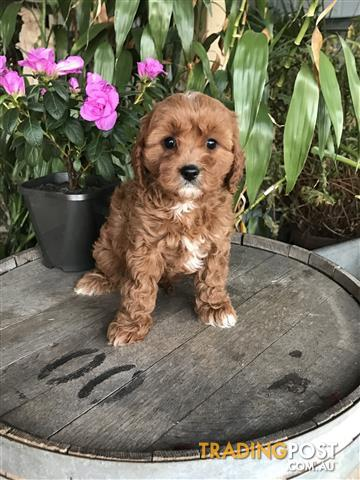 Toy Cavoodles!! Out Standing! Reds