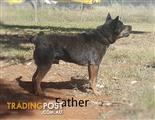 Pure Bred Blue Cattle Dog Pups