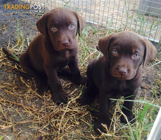 how to tell if a labrador is purebred