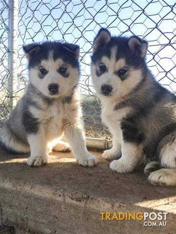 View all dogs for sale in australia siberian husky puppies voltagebd Image collections