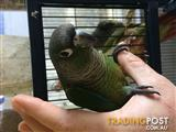 Handraised Green Cheek Conure