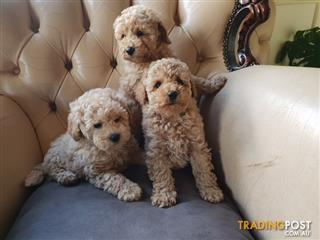 Find Poodle (Toy) puppies for sale in Australia