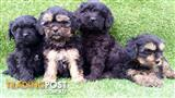 Toy Cavoodle x Toy Shoodle (Toy Shoodlier)