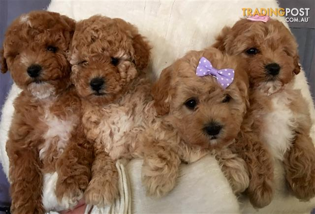 Toy poodle x Maltese x Toy Poodle ( Moodle)