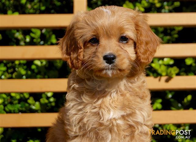 Toy Cavoodle Puppies For Sale Gold Caramel Apricot Honey