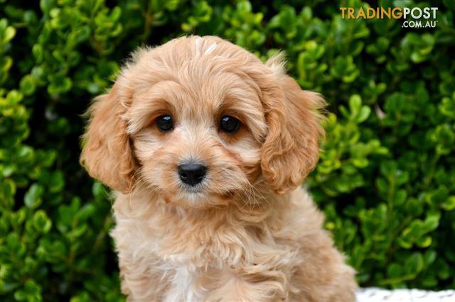Toy Cavoodle Puppies For Sale Sydney Toy Poodle X Cavalier