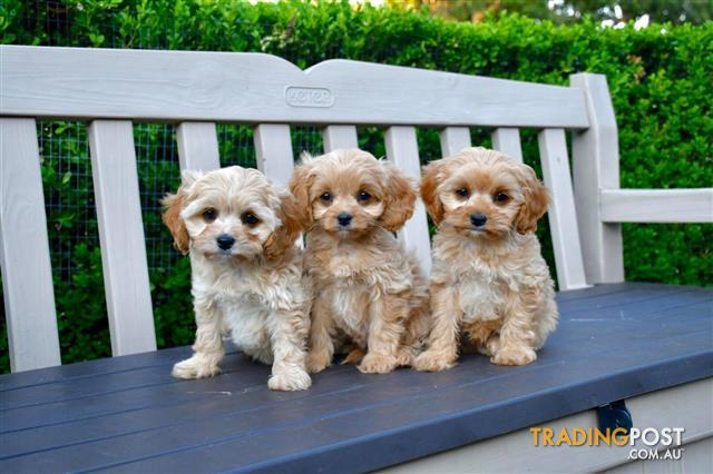 Toy Cavoodle Puppies For Sale Sydney Toy Poodle X Cavalier