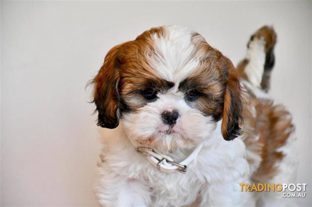 Cava-Tzu-Cavalier-x-Shih-Tzu-Puppies-For-Sale-Sydney