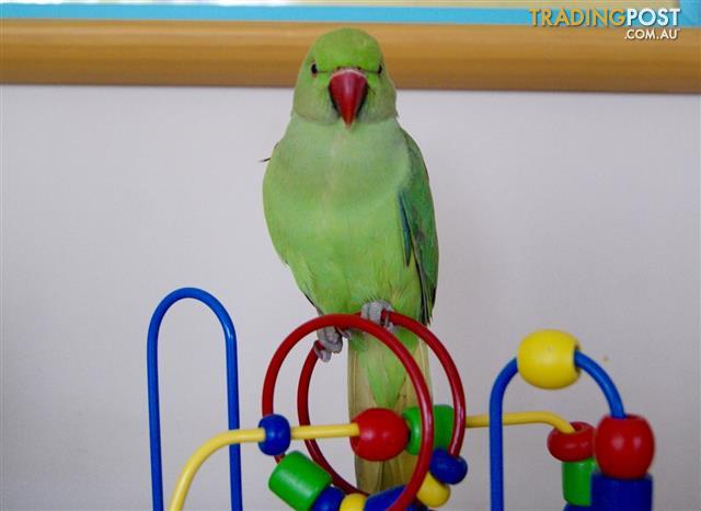 View all birds for sale in Australia on the Tradingpost - Australia's favourite way to buy and sell for almost 50 years.