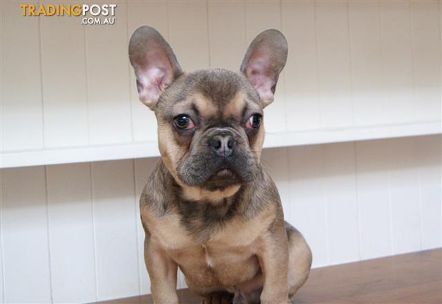 Blue-Sable-French-Bulldog-Puppy-For-Sale-Sydney