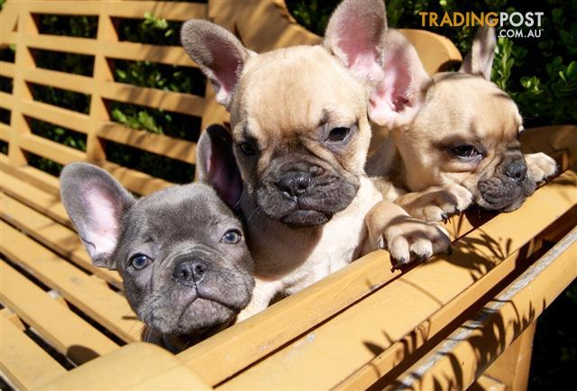 French-Bulldog-Puppies-For-Sale-Sydney