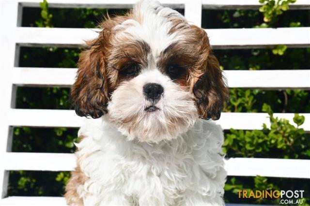 Cava-Tzu-Cavalier-x-Shih-Tzu-Puppies-For-Sale-Sydney
