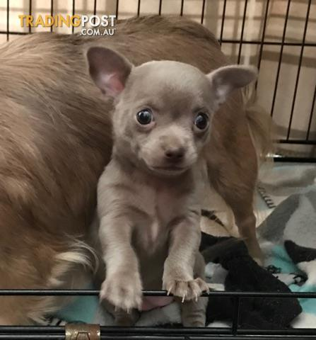 Rare lilac chihuahua for sale in Bligh Park NSW | Rare lilac chihuahua