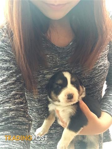 Pure breed border Collies for sale