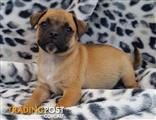 Jug Puppies (Pug x Jack Russell) Transport Available to Most Places