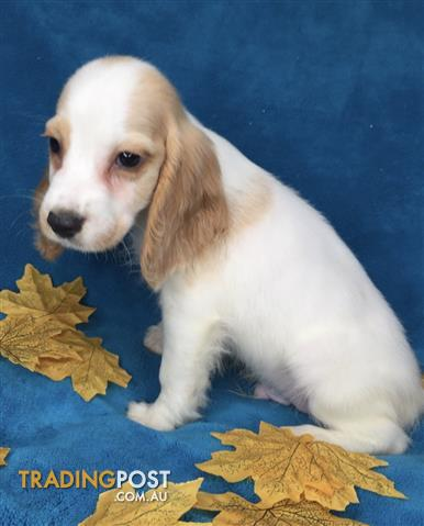 Speagle Puppies For Sale Brisbane