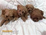 PUREBRED Toy Poodle Puppies (Caramel/Apricot Colour)