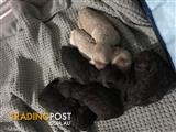 Pure bred toy poodle pups