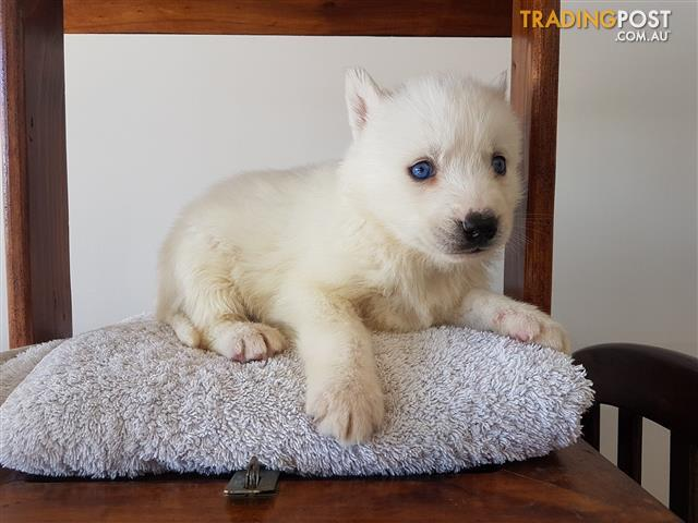 7 pure breed Siberian huskies for sale Pedigree bloodlines