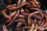 Healthy compost worms.  Pick up Lara Vic.