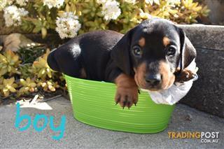 Find Dachshund puppies for sale in Australia