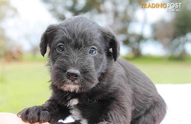 Schnauzer puppy victoria