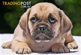 Puggle (Pug X Beagle) PUPPIES