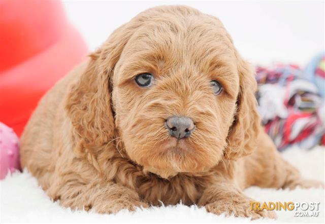 Spoodle puppies for sale nz